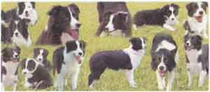 BORDER COLLIE Collage WRAP