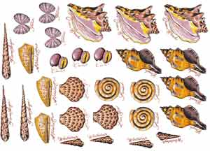 SHELLS - Conch, Lion's Paw, Tellin, Wentletrap, Sundial