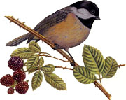 Birds - Chickadee
